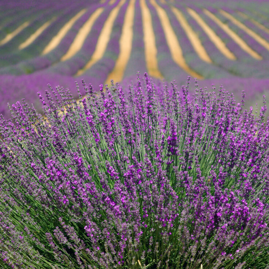 Provance Lavender Fields France